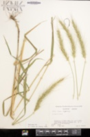 Elymus riparius image