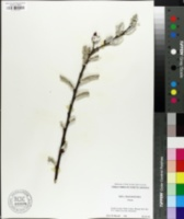 Image of Salix chaenomeloides