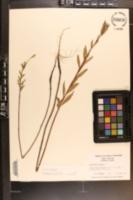 Oenothera biennis image