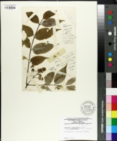 Image of Fraxinus longicuspis