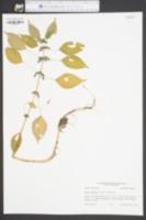Pilea fontana image