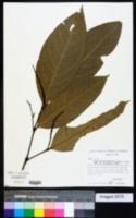 Image of Piper bartlingianum