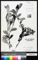 Blanchetia heterotricha image