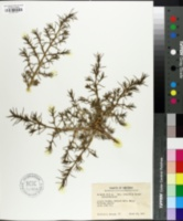 Salsola kali subsp. kali image