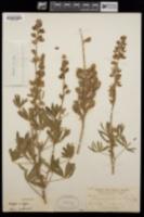 Image of Lupinus arcenthinus
