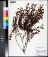 Image of Hypericum nitidum