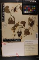 Aristolochia littoralis image