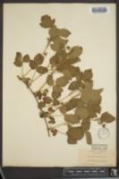 Image of Rubus vitifolius