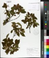 Image of Viburnum luzonicum