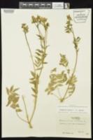 Polemonium reptans var. reptans image