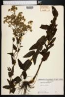 Image of Eupatorium scabridum