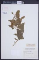 Image of Solanum crispum