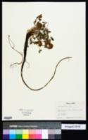 Trifolium rusbyi image
