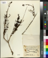 Image of Mulguraea asparagoides