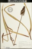 Amianthium muscitoxicum image
