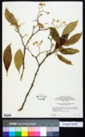 Image of Daphnopsis americana