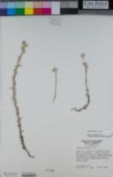Logfia filaginoides image