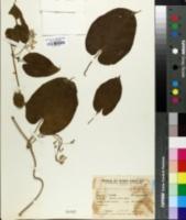 Image of Amblystigma cionophorum