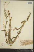 Image of Helenium puberulum