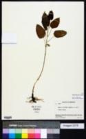 Smilax illinoensis image
