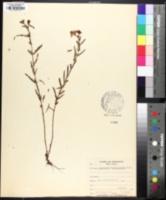 Hypericum dolabriforme image