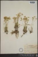 Arenaria texana image