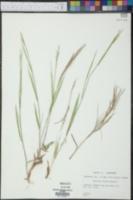 Panicum ovale image