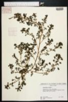Amaranthus blitum image