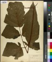 Image of Tectaria pica