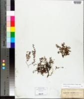 Image of Chamaesyce deltoidea
