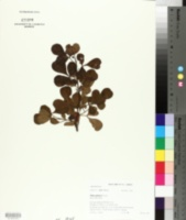 Image of Searsia glauca
