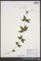 Galium lanceolatum image