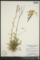 Erigeron strigosus var. calcicola image
