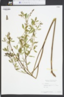Baptisia alba image