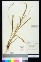 Chasmanthium sessiliflorum image