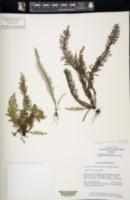 Image of Dasygrammitis mollicoma