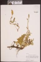 Sanguisorba canadensis image