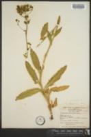 Image of Hieracium albertinum
