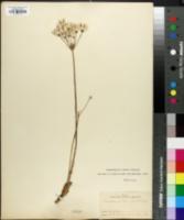 Image of Cogswellia vaseyi