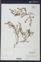 Euphorbia blodgettii image
