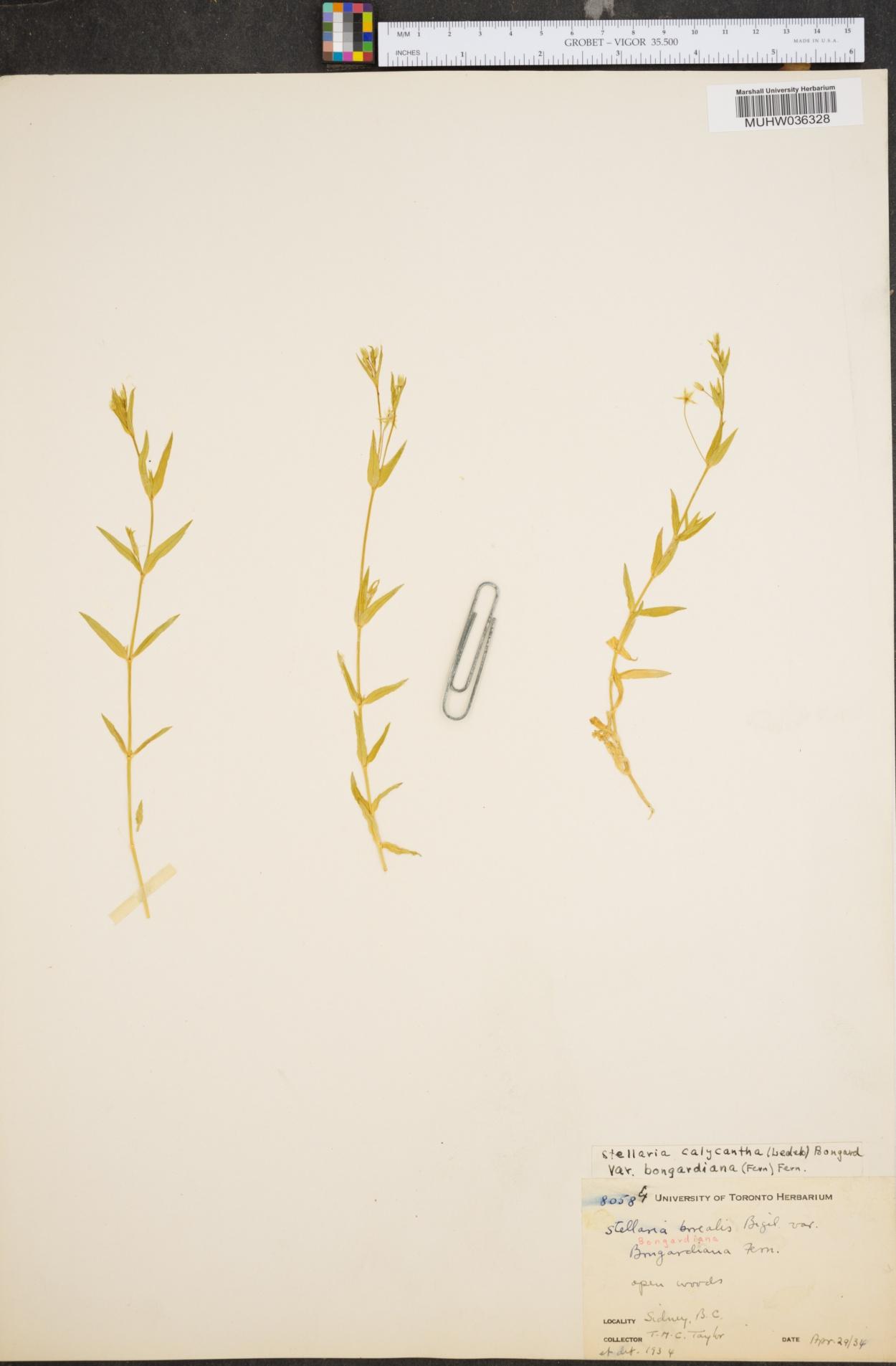 Stellaria calycantha var. bongardiana image