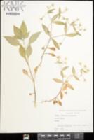 Stellaria sylvatica image