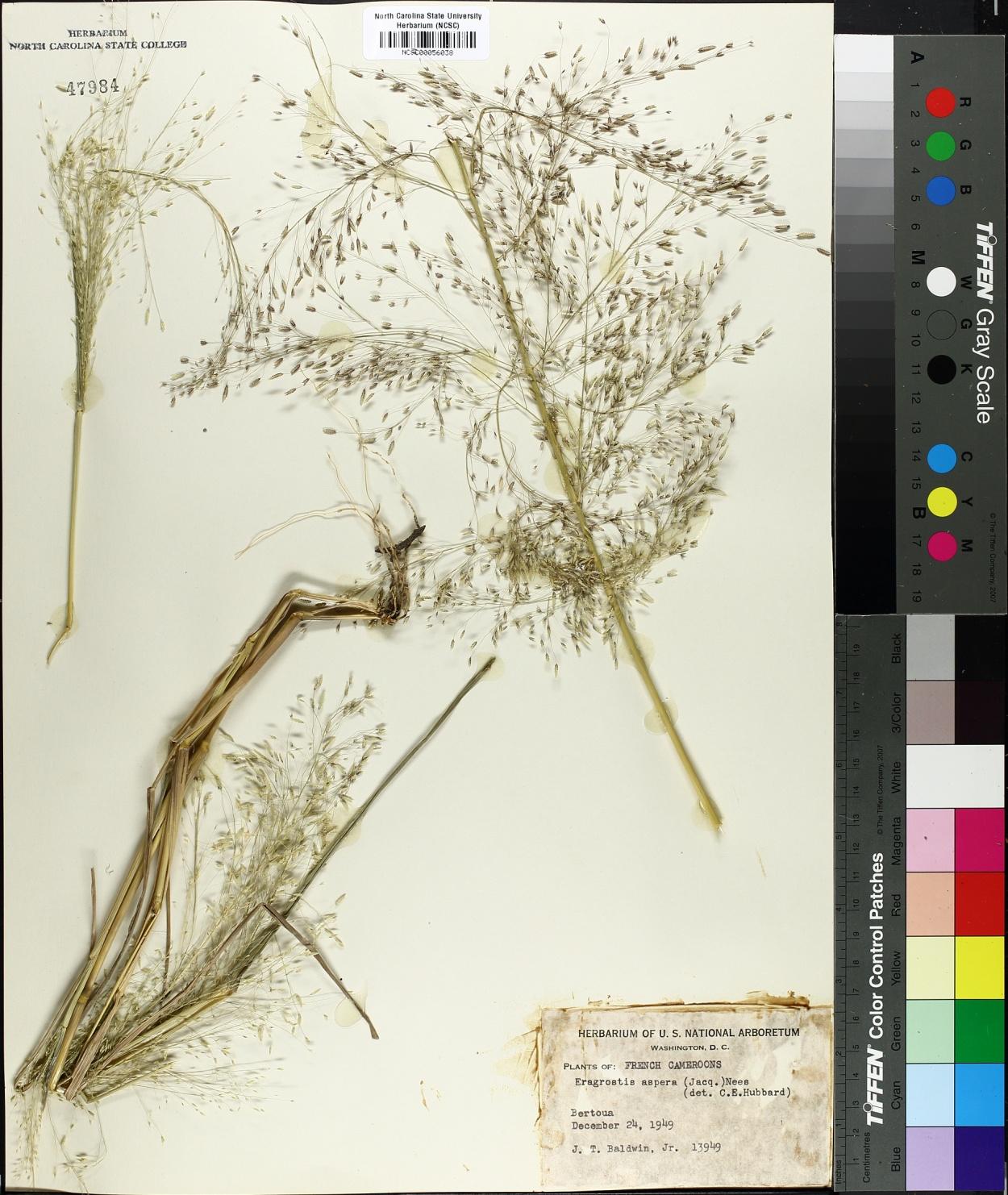 Eragrostis aspera image
