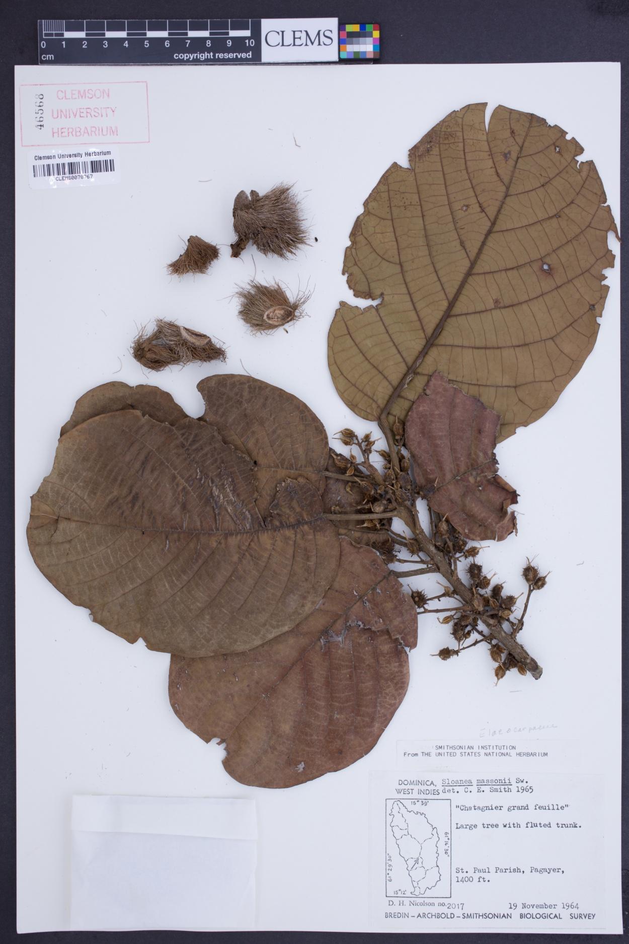 Sloanea macrophylla image