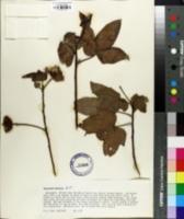 Image of Gossypium darwinii