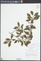Ilex longipes image