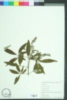 Vitex agnus-castus image