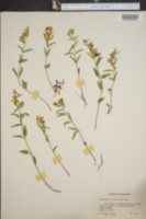 Image of Scutellaria californica
