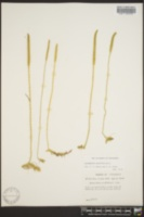 Lycopodium carolinianum image