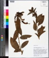 Image of Centropogon cornutus